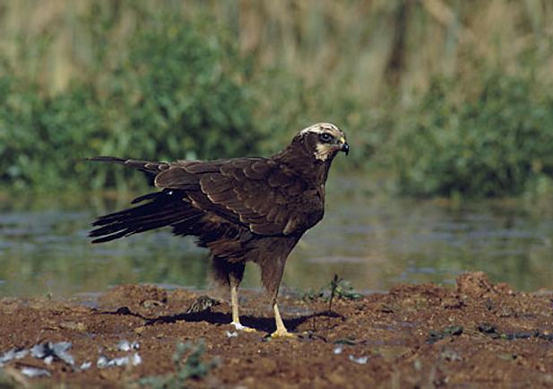 Aguilucho lagunero occidental Foto 1