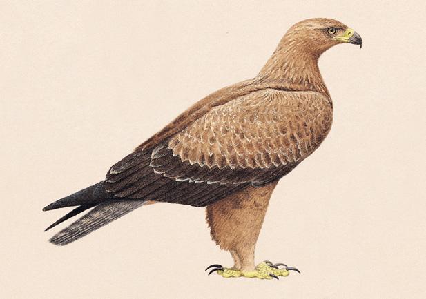 Aguila rapaz Foto 1