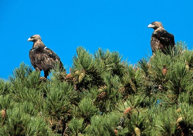 Aguila imperial iberica Foto 1