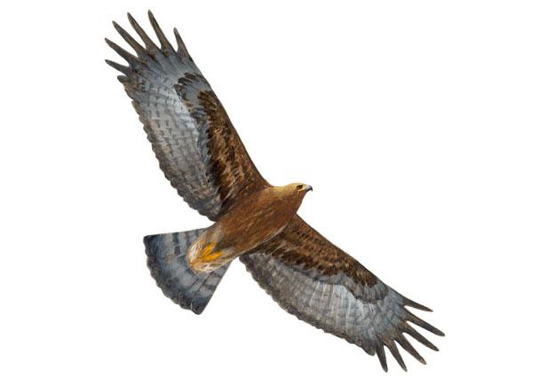 Aguila real Dibujo 2