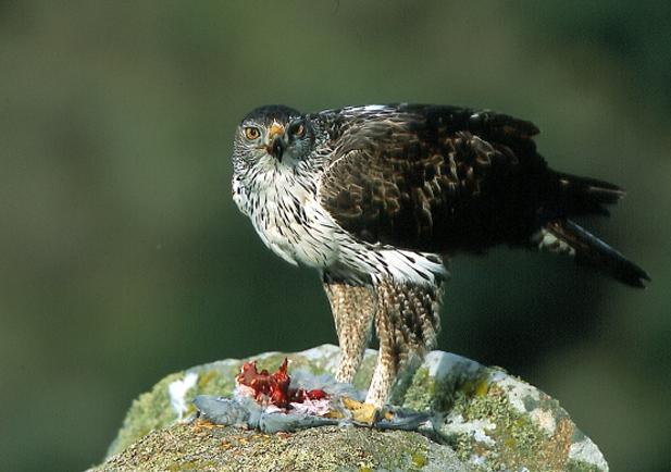 Águila perdicera alimentándose ©Tatavasco Images