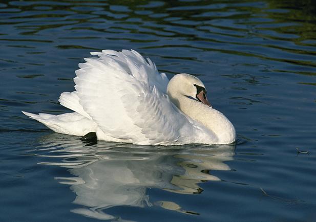 Cisne vulgar Foto 1