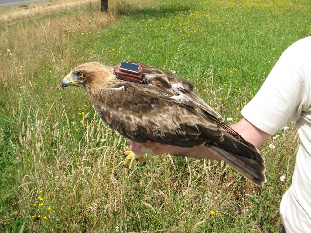 El ejemplar de águila calzada marcada con emisor GPS-GSME en el Parque Nacional de Cabañeros y bautizado como Raña ©Ángel Gómez Manzaneque