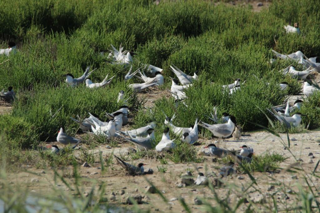 Bando de charranes patinegros ©Pablo Vera-SEO/BirdLife
