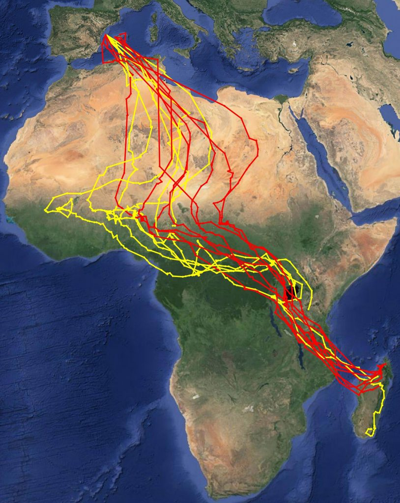 Halcon eleonora Migracion Otoño. Fuente SEO/BirdLife