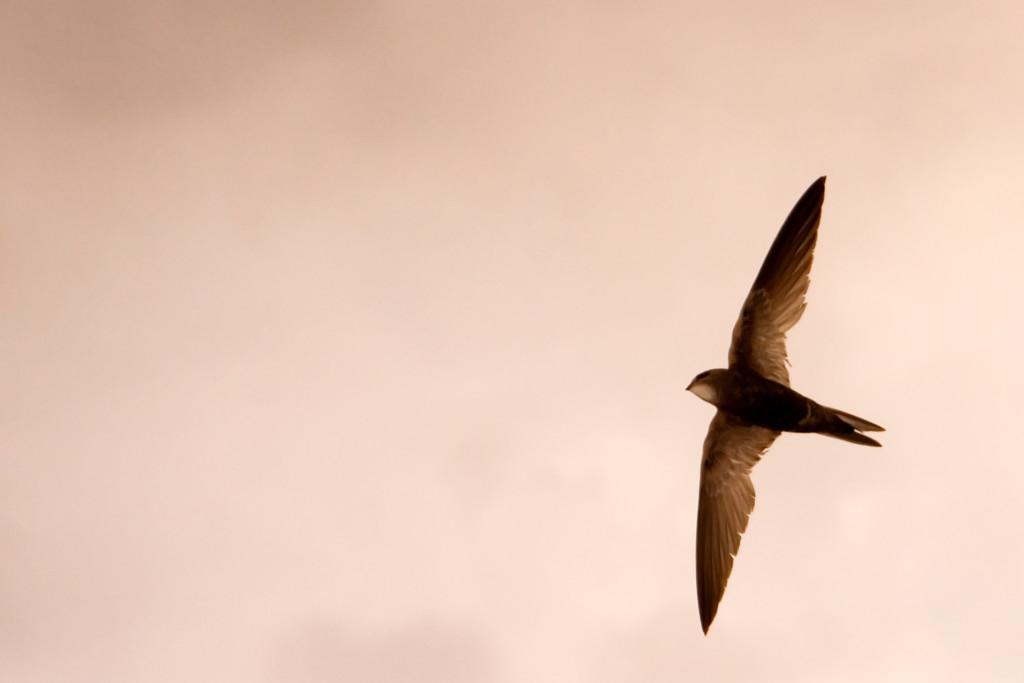 Vencejo en vuelo ©Javier Milla