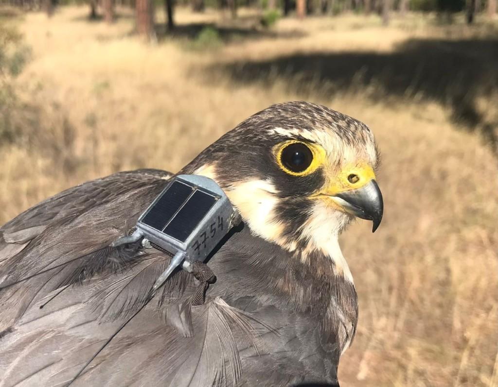 Alcotan marcado con GPS. Autor: J.de_la_Puente SEO/BirdLife